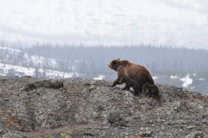 bears-1149459_1280